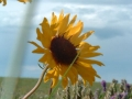 brown_eyed_susan_06