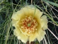 prickly_pear_1
