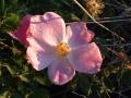 wild_rose_05