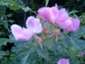 wild_rose_07