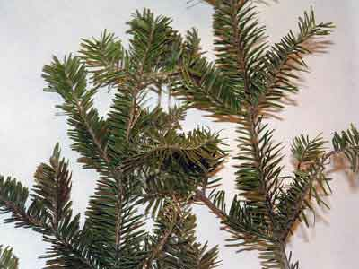 Abies lasiocarpa (Hook.) Nutt. Galileo Educational Network