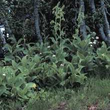 Veratrum viride Larry Allain @ USDA-NRCS PLANTS Database