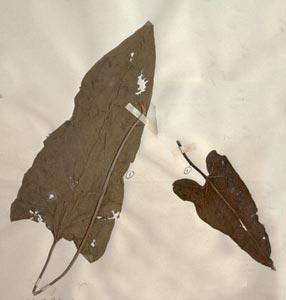 Balsamorhiza sagittata (Pursh) Nutt Galileo Educational Network