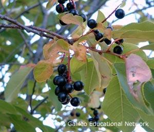 Prunus virginiana L. Galileo Educational Networ