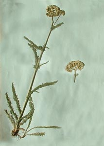 Achillea millefolium L. Galileo Educational Network