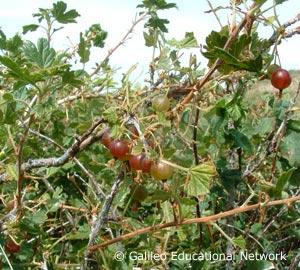 Ribes oxyacanthoides L. Galileo Educational Network