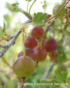 gooseberry3