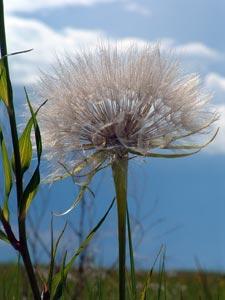 Asclepias viridiflora Raf. Galileo Educational Network