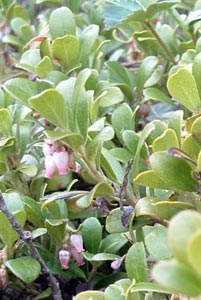 Arctostaphylos uva-ursi (L.) Spreng Galileo Educational Network