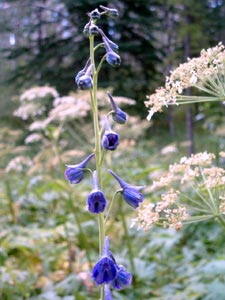 Delphinium bicolor Nutt. Galileo Educational Network