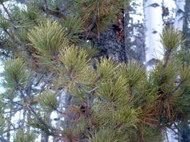 Pinus contorta Dougl. ex Loud. Galileo Educational Network