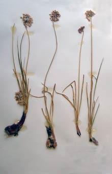 Allium cernuum Galileo Educational Network
