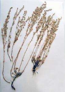 Artemisia fridgida Galileo Educational Network