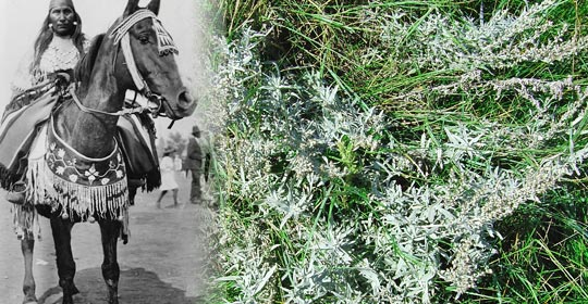 Pasture Sagewort was commonly placed in the saddle to help keep bugs and flies away. (Photo courtesy of Glenbow Museum Archives NA-3460-22)