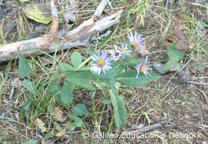Aster sp. Galileo Educational Network