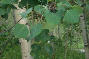 Populus tremuloides images/IMG_0200.jpg