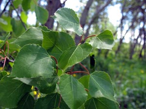 Populus tremuloides Galileo Educational Network