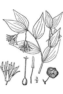 Prosartes trachycarpa S. Wats. USDA-NRCS PLANTS Database / Britton, N.L.& Brown,A.