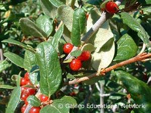 Shepherdia argentea (Pursh) Nutt. Galileo Educational Network
