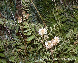 Glycyrrhiza lepidota Galileo Educational Network