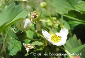 Fragaria sp. Galileo Educational Network