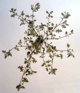 Solanum triflorum. Nutt Galileo Educational Network
