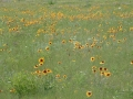 brown_eyed_susan_11