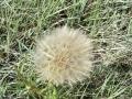 green_milkweed_01