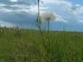 green_milkweed_03