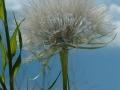 green_milkweed_04