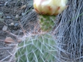 prickly_pear_21