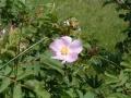 wild_rose_02