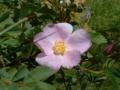 wild_rose_03