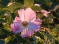 wild_rose_06