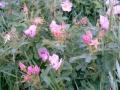 wild_rose_08