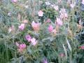 wild_rose_09