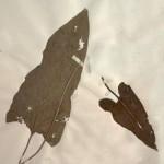 Ponokaki - Balsamorhiza sagittata (Pursh) Nutt (Balsamroot)