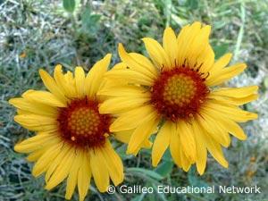 Gaillardia aristata Pursh Galileo Educational Network