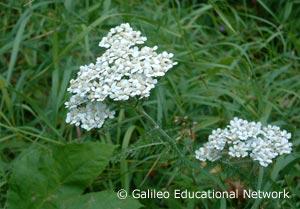 Achillea millefolium L. Galileo Educational Network