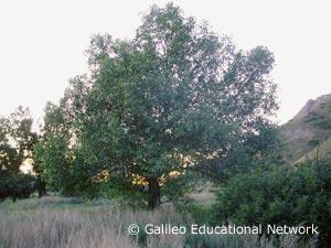 Populus deltoides Bartr. ex Marsh. ssp. monilifera Galileo Educational Network