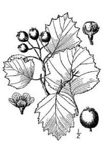 Crataegus chrysocarpa Ashe USDA-NRCS PLANTS Database / Britton, N.L.& Brown,A.