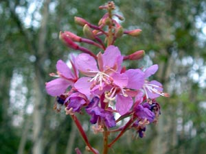 Chamerion angustifolium ssp. angustifolium Galileo Educational Network