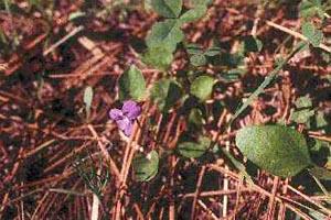 Viola adunca Gary A. Monroe @ USDA-NRCS PLANTS Database