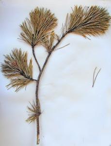 Pinus contorta Dougl. ex Loud. Galileo Educational Network