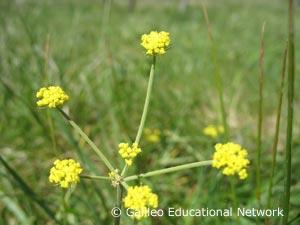 Lomatium triternatum (Pursh) Coult. & Rose Galileo Educational Network