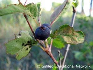 Amelanchier alnifolia (Nutt.) Nutt. ex M. Roemer Galileo Educational Network