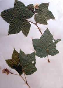 Rubus parviflorus Nutt. Galileo Educational Network