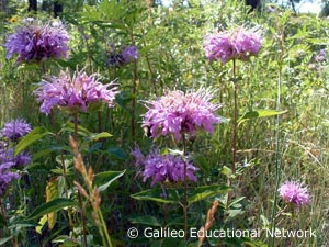 Monarda fistulosa L. Galileo Educational Network