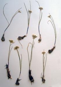 Allium sp. Galileo Educational Network