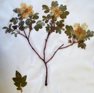 Rosa sp. Carolla Calf Robe